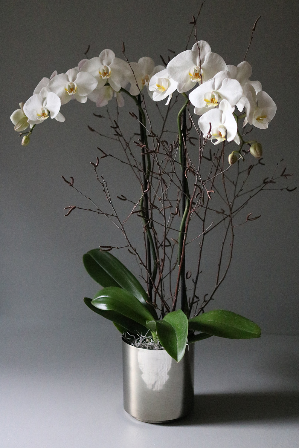 Agent F & POTTED WHITE PHALAENOPSIS ORCHID